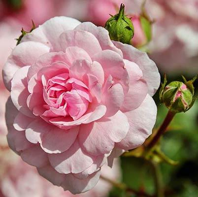 Rose de Damas dans mes vibraciels