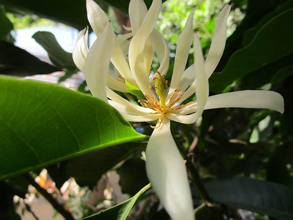 Une fleur magnifique la fleur de Champaca
