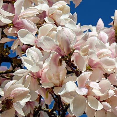 Vibraciels 15 et la fleur de magnolia